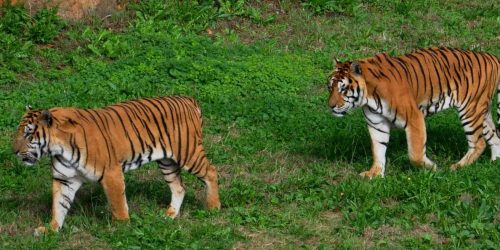cabarceno tigres