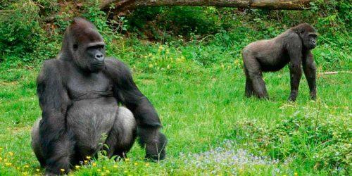 Cabarceno Orangután